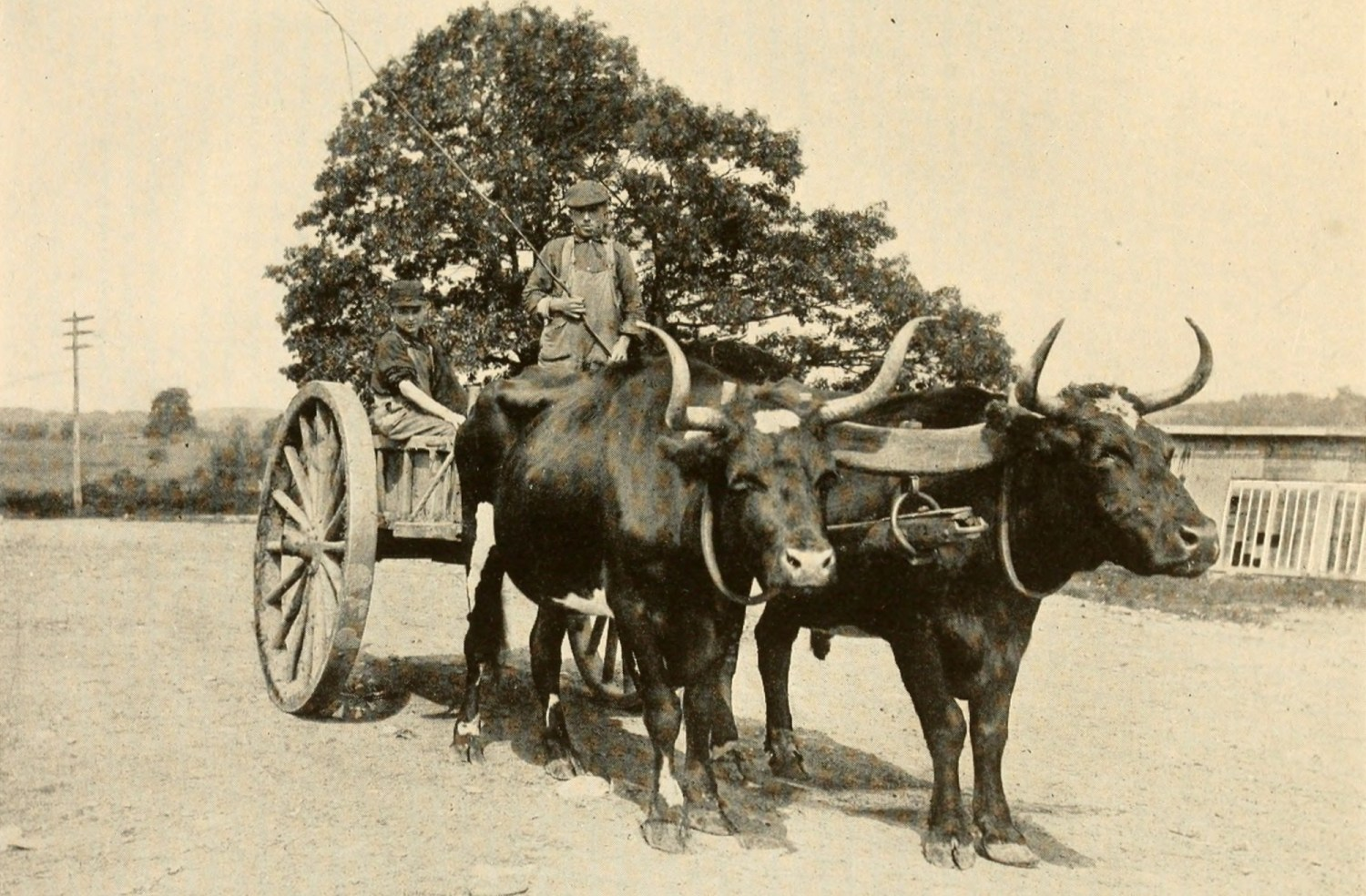 illustration of yoked oxen