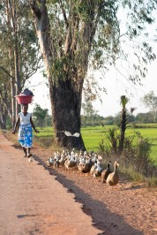 Taking the ducks for a walk