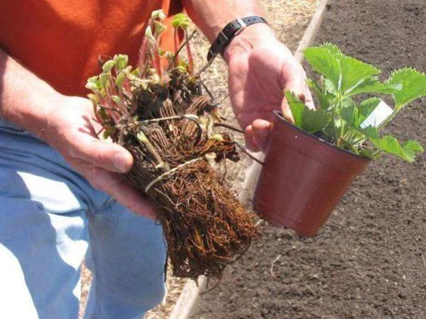 image2 | Как посадить и вырастить клубнику