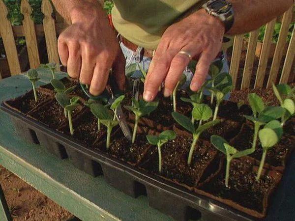image3-2 | Как вырастить из семян рассаду кабачков и высадить в грунт