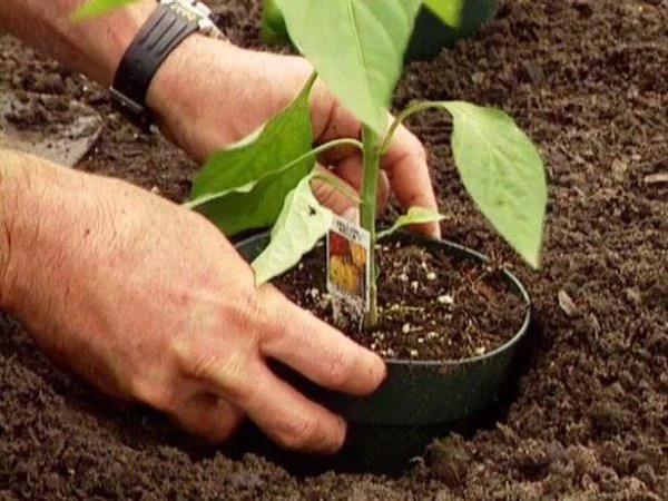 image3   Как посадить перцы, чтобы получить хороший урожай