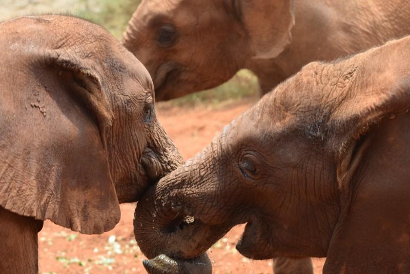 David Sheldrick Wildlife Trust - Elephant Orphanage