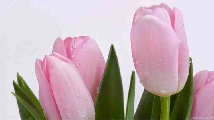 Gambar Bunga Tulip Pink