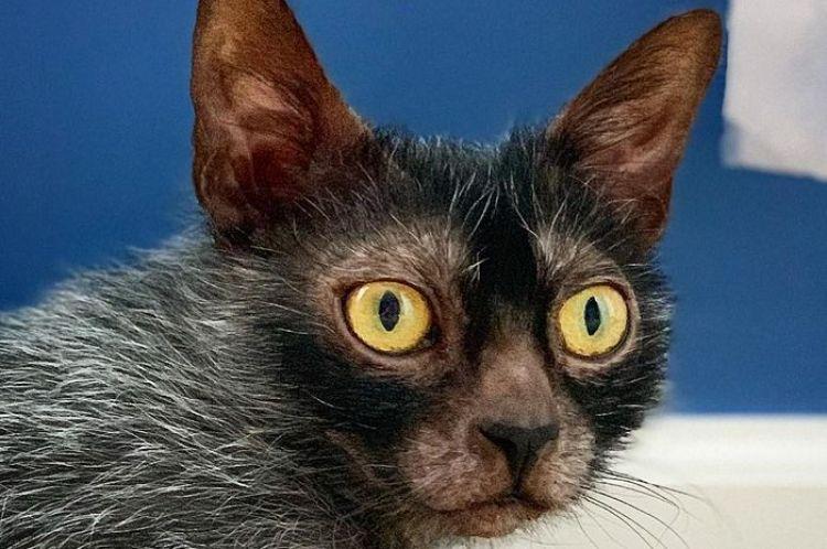 Jenis Kucing Lykoi