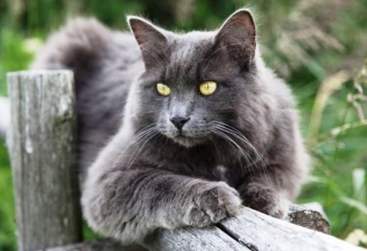 Jenis Kucing Nebelung