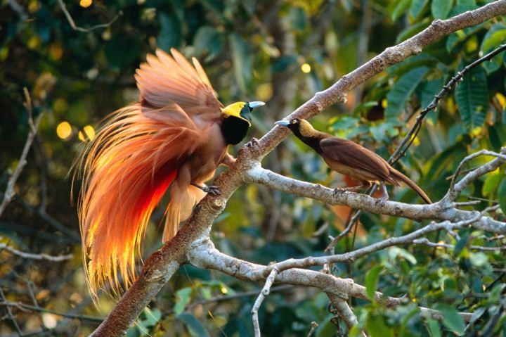 Burung Cenderawasih: Sejarah, Karakteristik, Jenis, Ciri-Ciri dan Keunikan