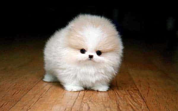 Jenis Anjing Mini Pom