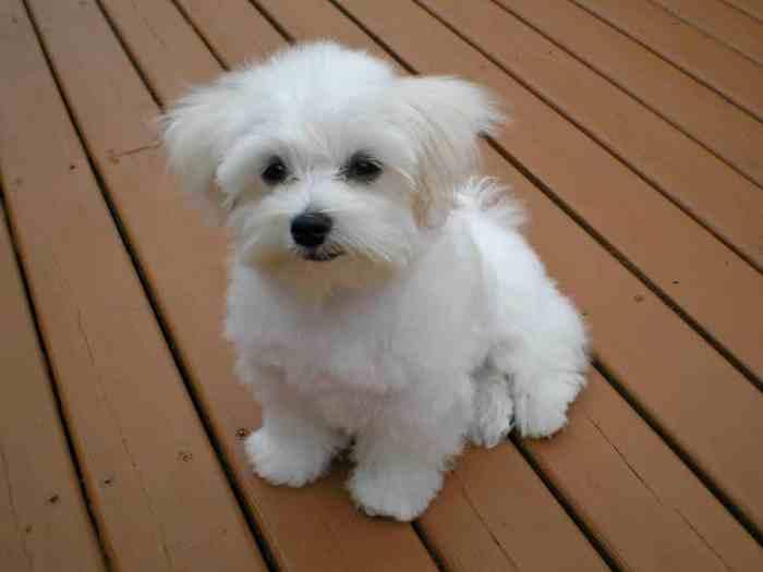 Jenis-jenis Anjing Maltase