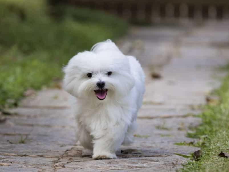 Pakan Anjing Maltase