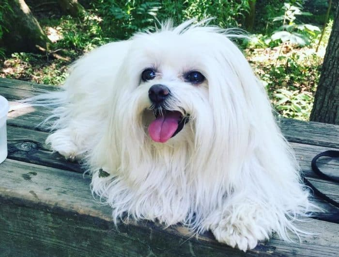 Sejarah Anjing Maltase