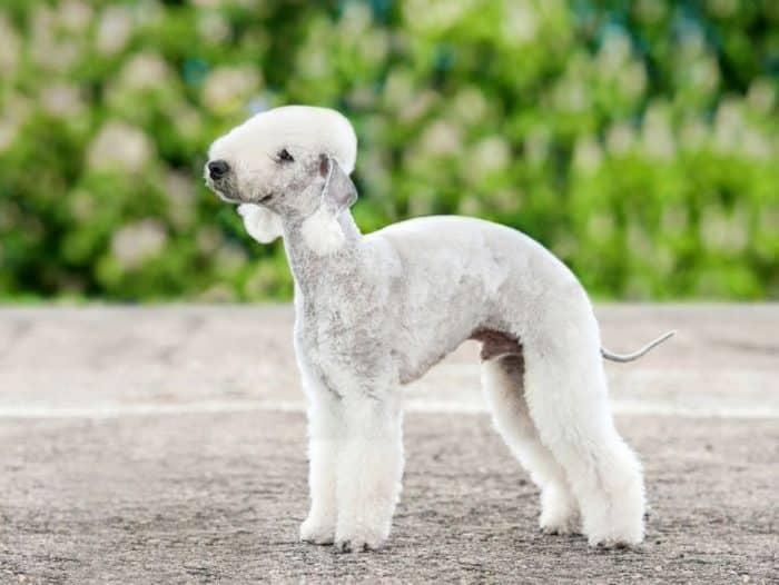 Anjing Bedlington Terrier