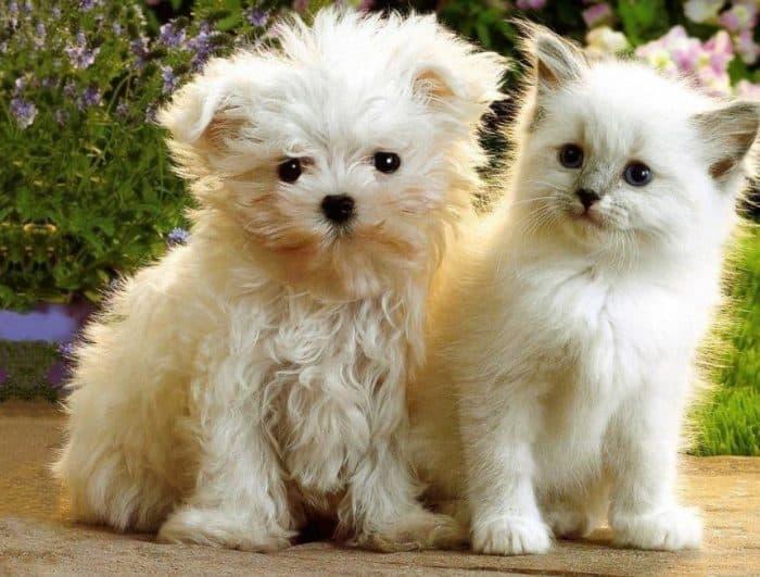 Anjing Lowchen