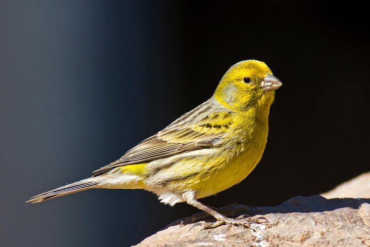 Biji-Bijian Kesukaan Burung Kenari