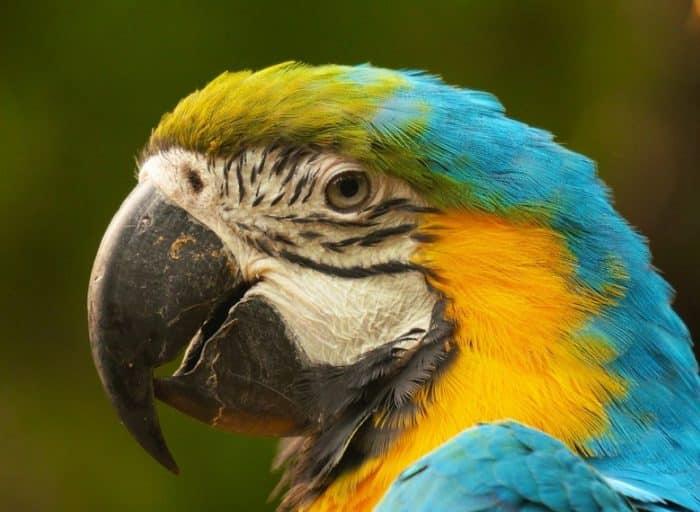 Burung Beo Bisa Menari Mengikuti Alunan Musik