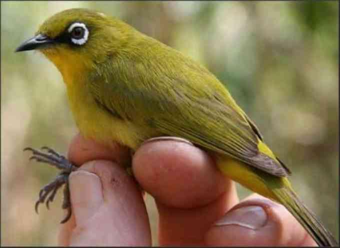 Burung Pleci Buxtoni