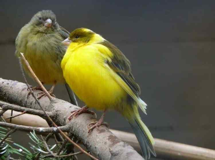 Cara Membedakan Burung Kenari Jantan Atau Betina