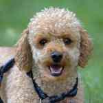 Cara Merawat Anak Anjing Pudel