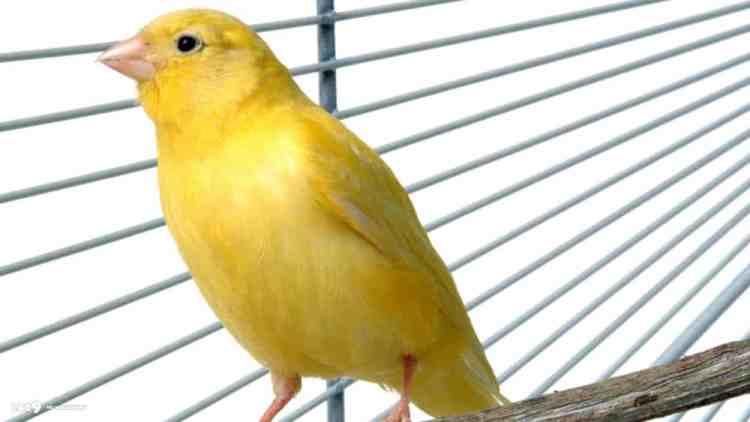 Cara Mudah Melatih Burung Kenari
