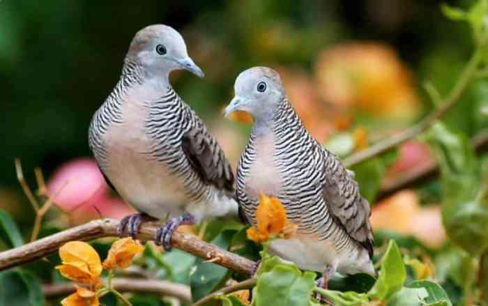 Harga Pasaran burung Perkutut