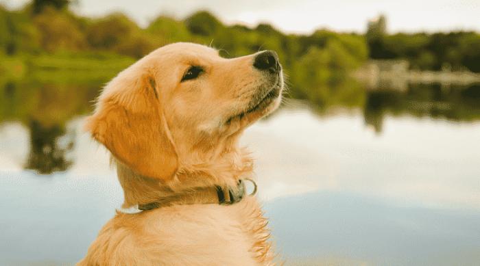 Jenis-jenis Anjing Golden