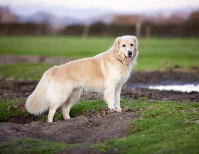 Karakter yang Dimiliki Anjing Golden
