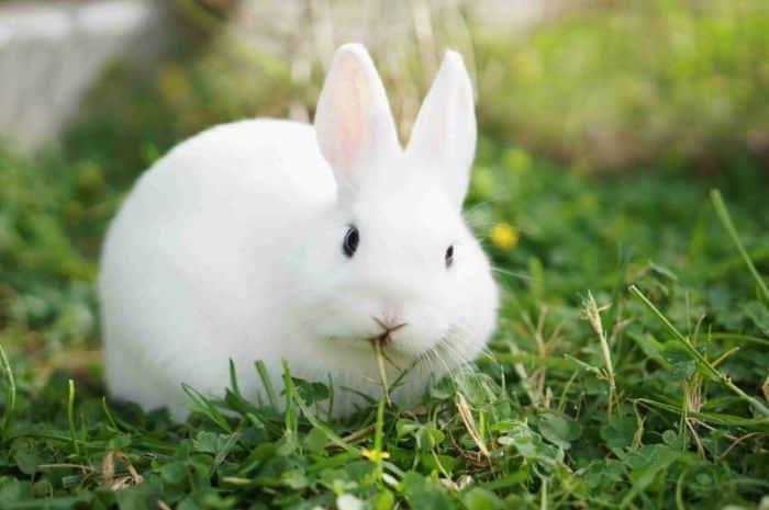 Kelinci Bersayap Putih
