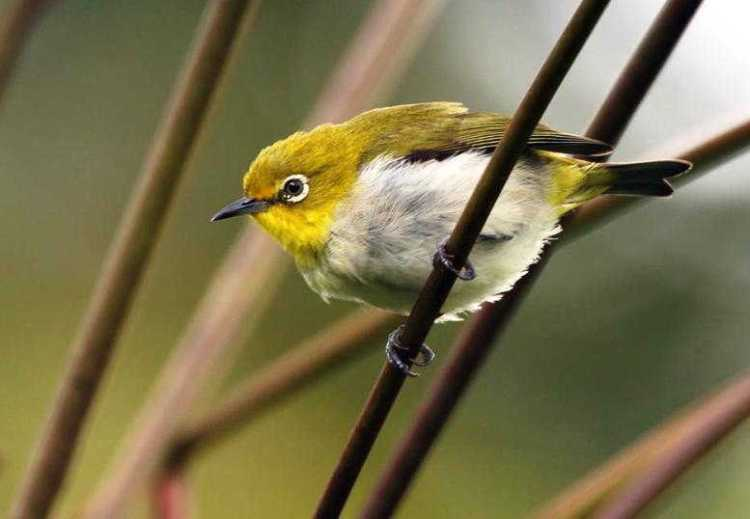 Keunikan yang Dimiliki Oleh Burung Pleci