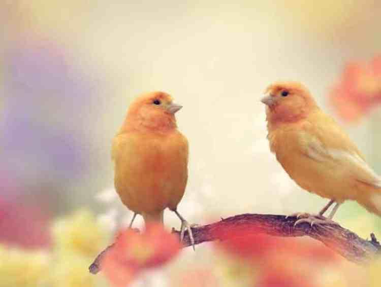 Melatih Burung Kenari Dengan Mudah