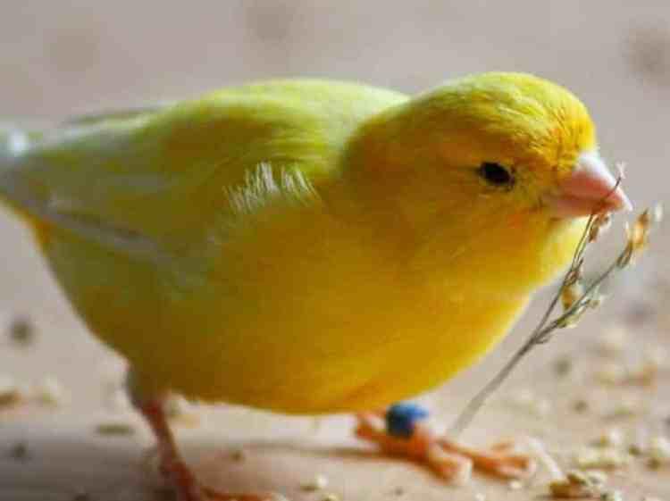 Membersihkan Kandang Burung Kenari