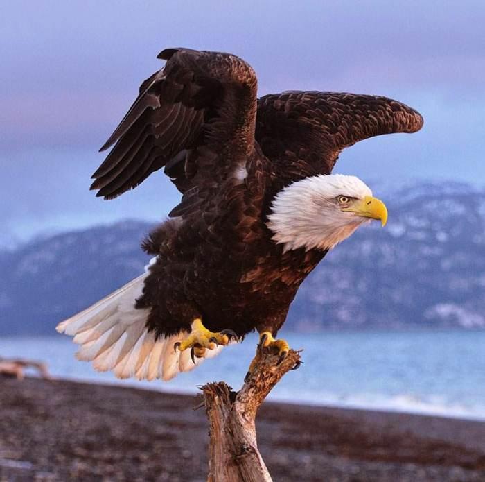 Merawat Burung Elang dengan Memandikan Burung Elang