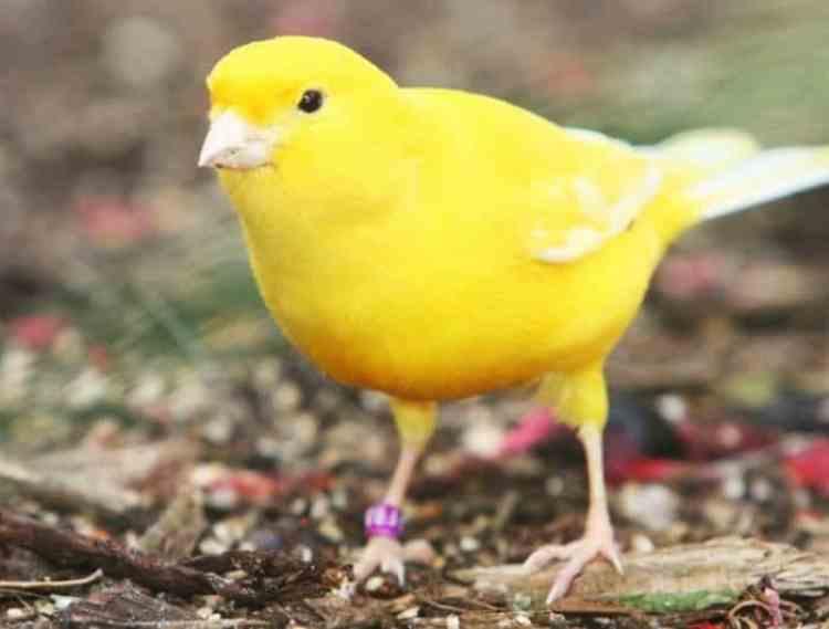 Pakan Burung Kenari Yan Harus Di Ketahui