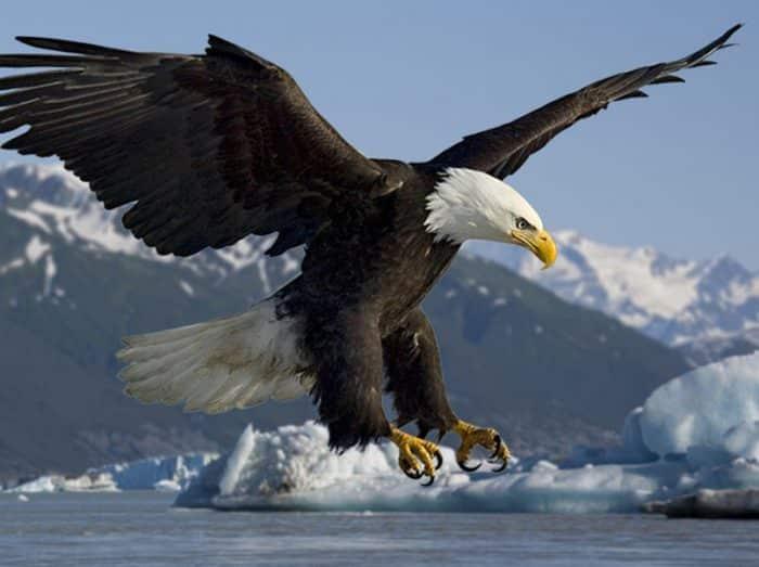 830 Arti Gambar Burung Elang Terbang Gratis