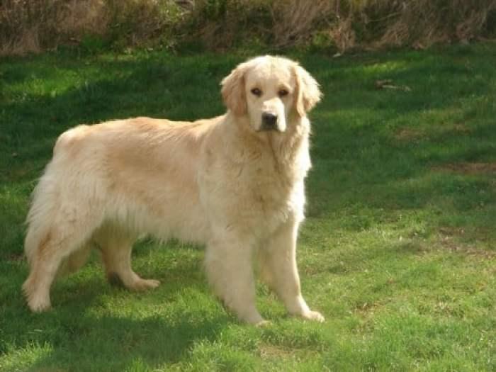 Tips Merawat Kesehatan Anjing Golden