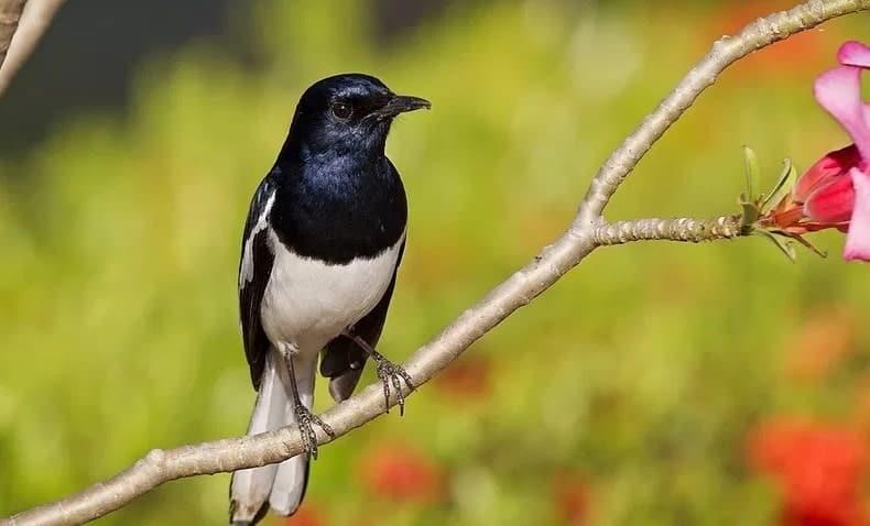 Variasi Jenis Burung Kacer