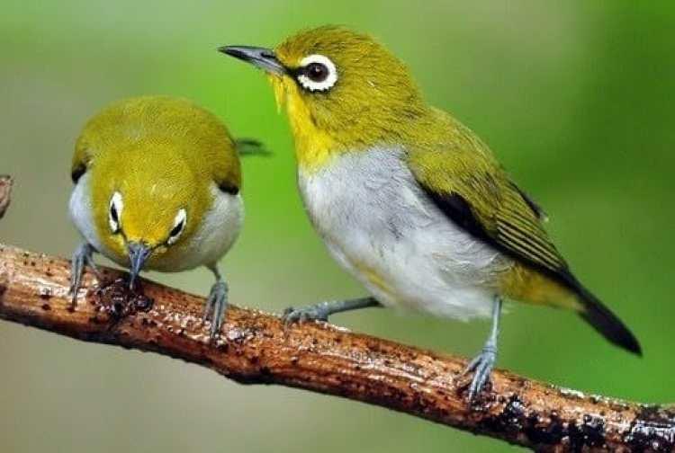 Variasi dan Jenis dari Burung Pleci