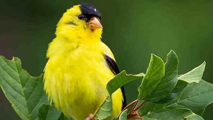 Warna Sicantik Burung Kenari