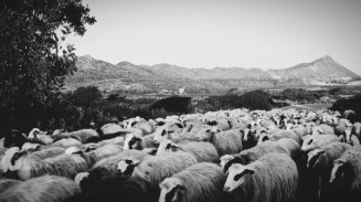 Crete Geep (sheep & goat)