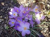 daffodill.jpg