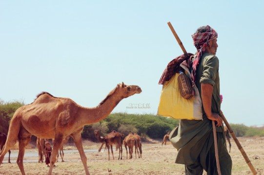 Ahmedbhai waits for his camels to finish their drink