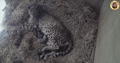 Naissance de guépards à Sigean