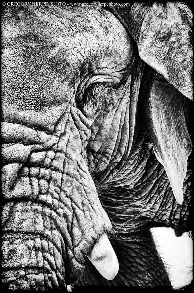 Éléphant, Parc National Kilimandjaro, Tanzanie