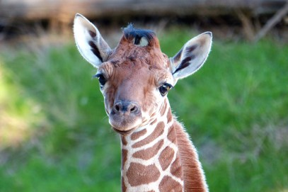 Bébé girafe Roxy - Crédit réserve africaine de Sigean