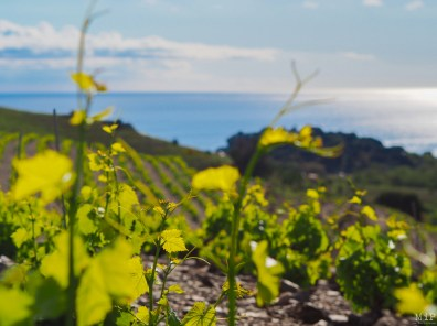 Vignes en terrasse Banyuls sur mer_-4