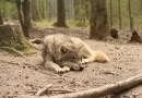Le loup d'Angoustrine mort de vieillesse selon les résultats de l'autopsie