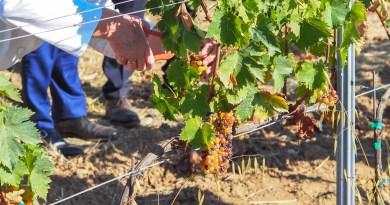 """Vins du Roussillon – Le cru 2018 annoncé comme un """"très-très"""" grand millésime"""