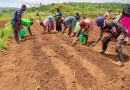 Introductie Hollandse aardbei in Rwanda