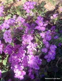 Arizona Flora