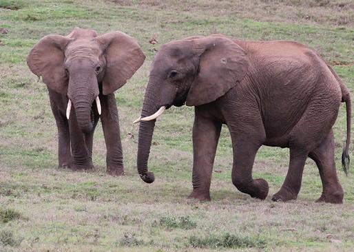 Tow teenage elephants together