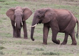 Tow teenage elephants together