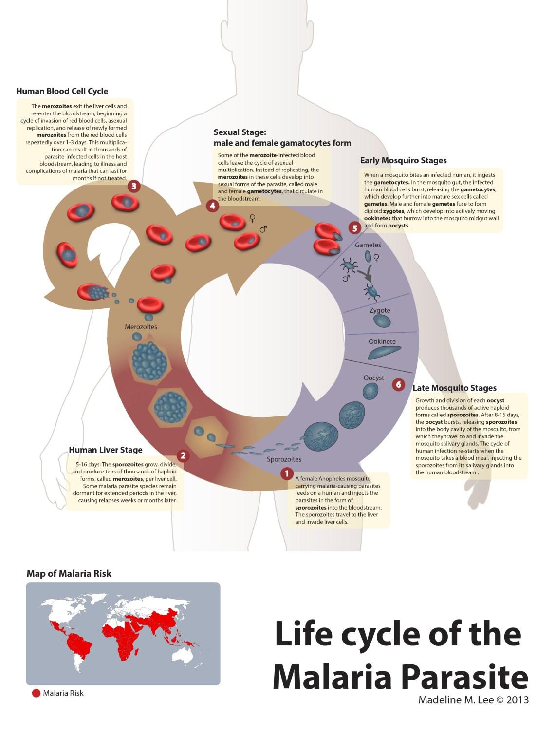 Life Cycle of Malaria